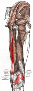 Semimembranosus_muscle-2